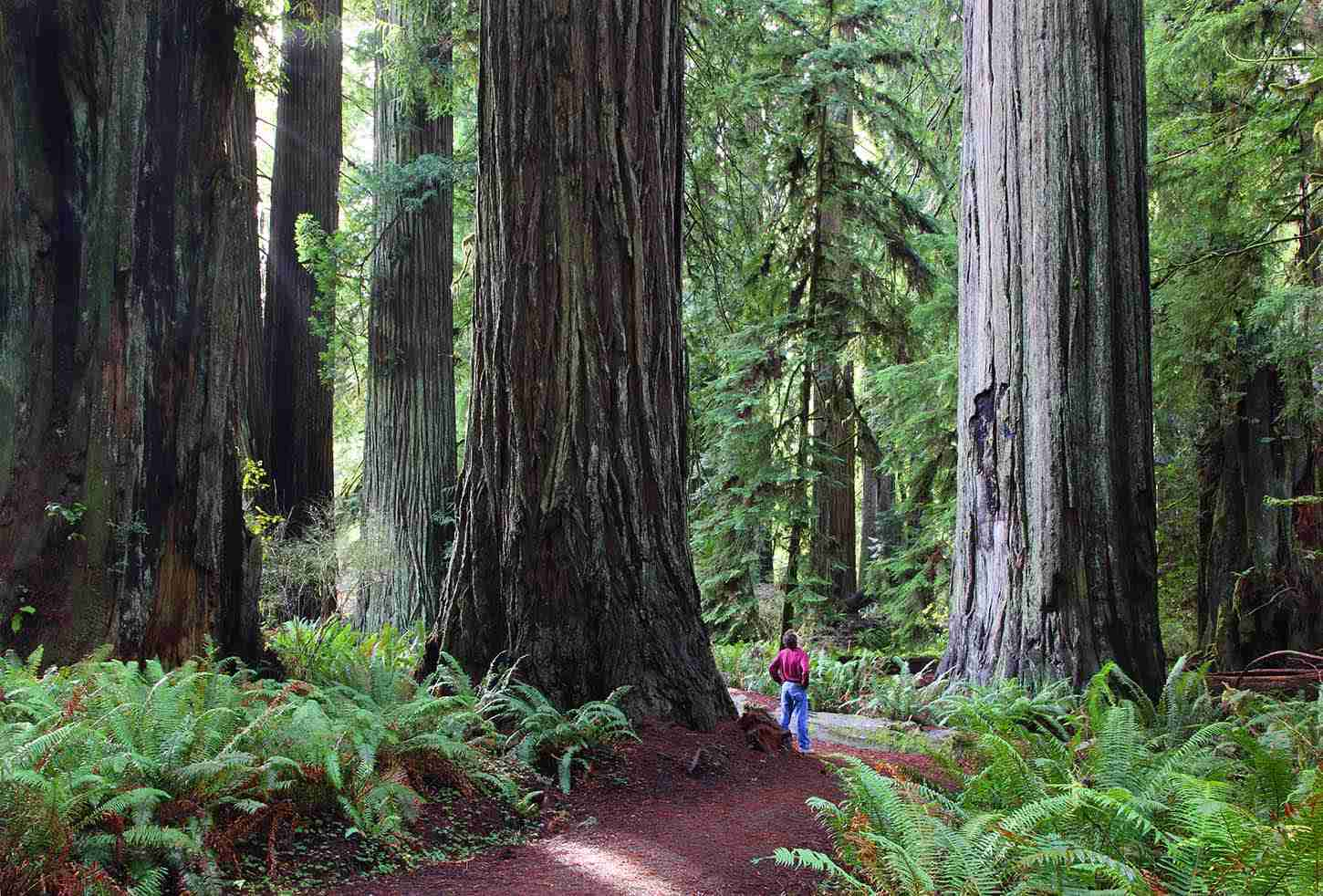 The Foothill Trail in Prairie Creek Redwoods State Park