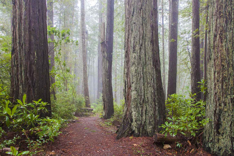the oregon redwoods trail