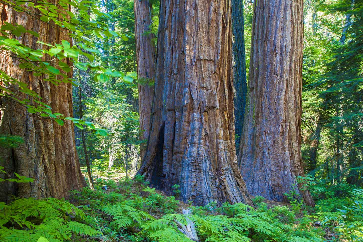 big trees grove placer countys giant sequoia anomaly