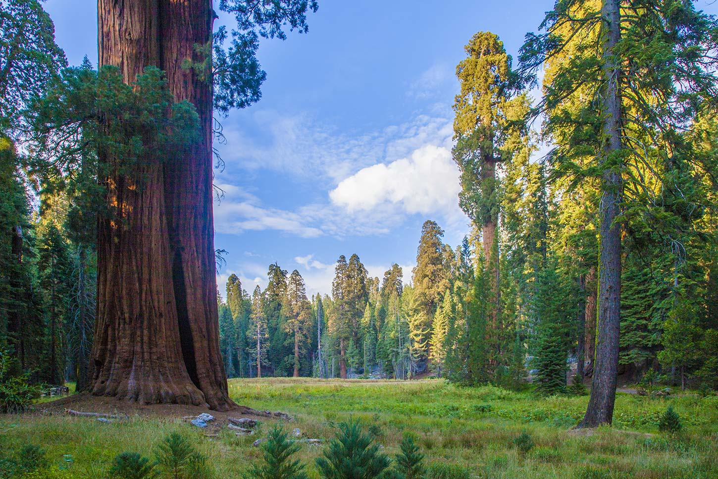 The Sequoia in Pale Yellow