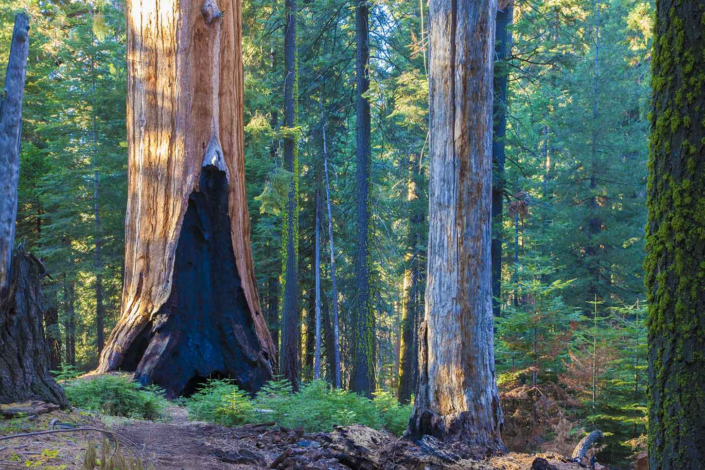 The Sugar Bowl Trail, Redwood Mountain grove, Sequoia National Park